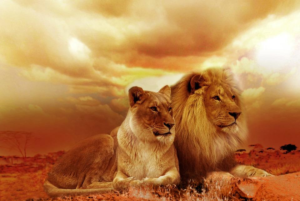 Lions, Pár, Szafari, Vadon Élő Állatok, Vadmacska