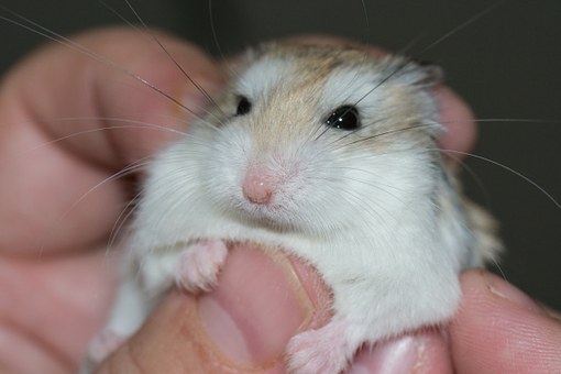 Hamster Palm Transmission Love Petting The