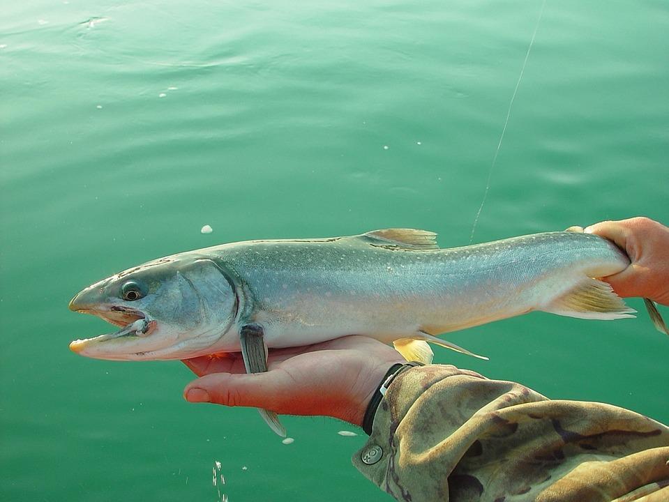 Free photo salmon fishing fish alaska free image on for Salmon fishing alaska