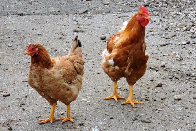 Photo gratuite poules oiseaux animaux pattes image - Precio de somier con patas ...