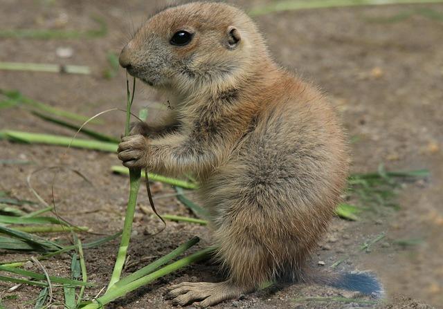 Free Photo: Prairie Dog, Cynomys, Animals