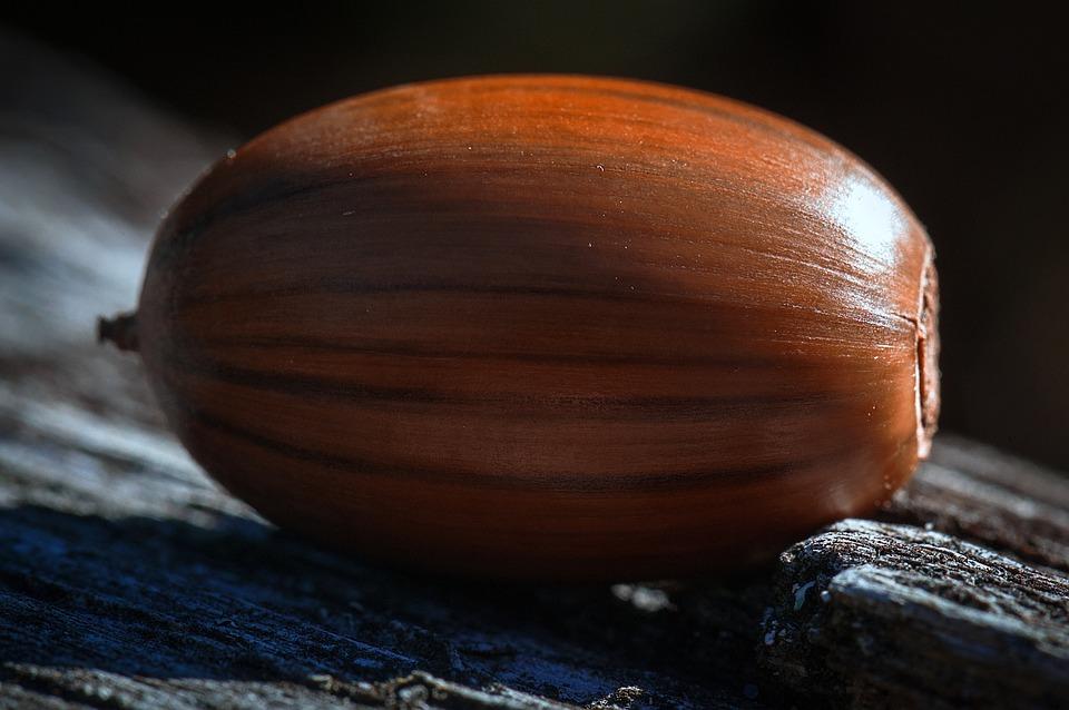 bellota semilla