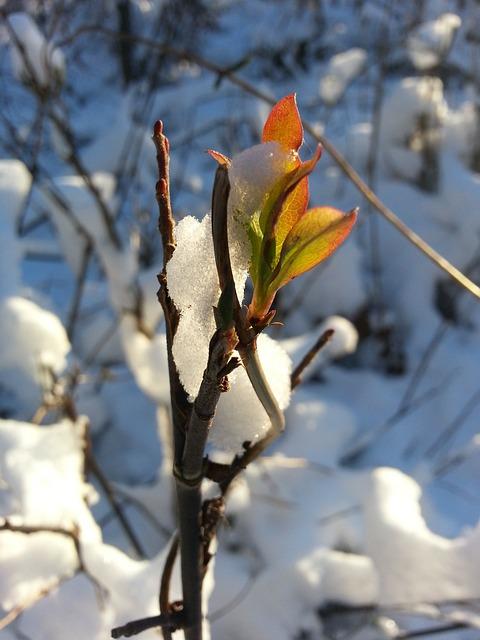 Kostenloses Foto: Schnee, Knospe, Frühlingserwachen ...