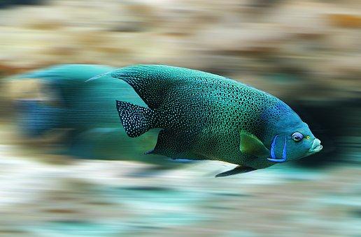Fisch, Aquarium, Geschwindigkeit, Tempo