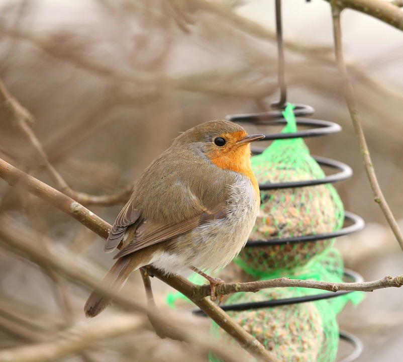Robins, Fuglen, Erithacus Rubecula, Fôring Sted, Fôring