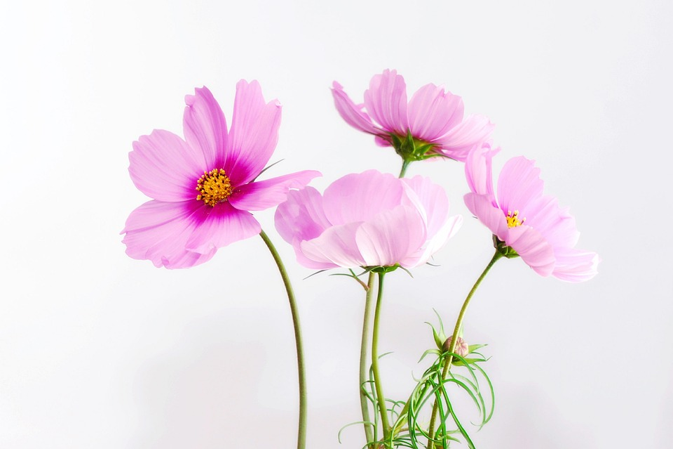 Cosmea, Flower, Blossom, Bloom, Plant, Close Up, Nature