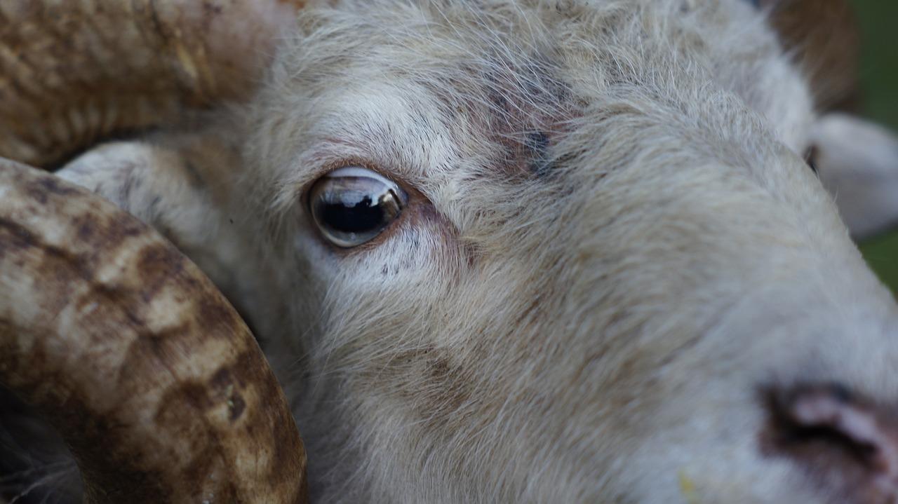 глаз овцы картинка правило оформления