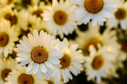 Yellow flowers images pixabay download free pictures oxeye daisy blossom flora garden bloom yel mightylinksfo