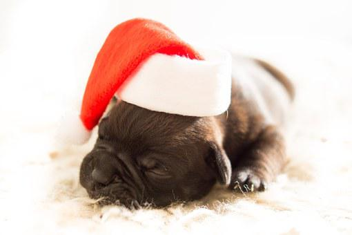 Puppy, Xmas, Dog, Pet, White, Red