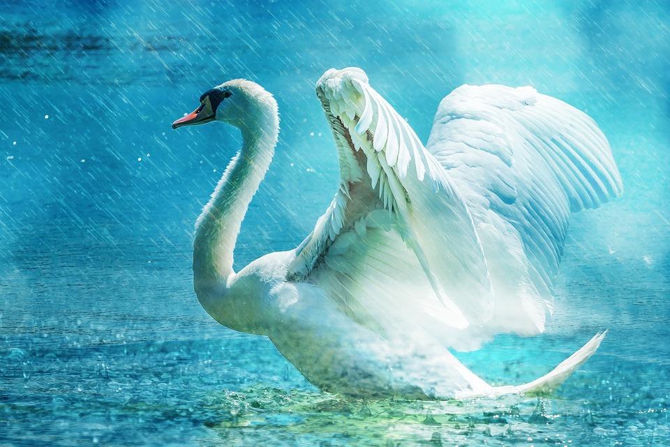 Łabędź, Biały, Wody, Deszcz, kobieta