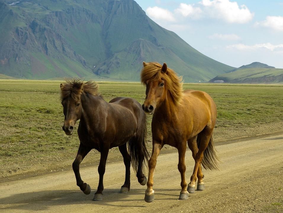 Horses, Iceland, Landmannalaugar