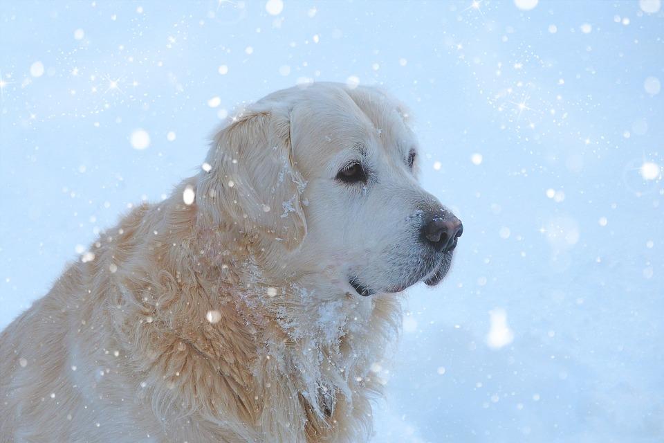 Photo gratuite golden retriever chien douce image gratuite sur pixabay 584956 - Golden retriever gratuit ...