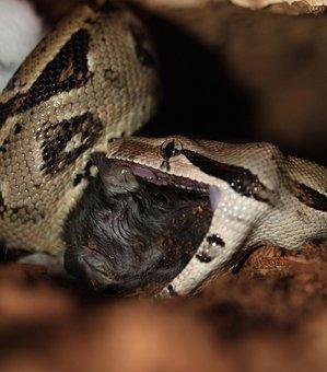 Emperor Snake, Boa, Snake