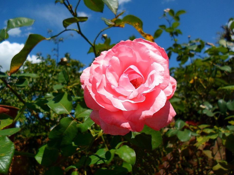 Rosa Flor Paisagem Foto Gratuita No Pixabay