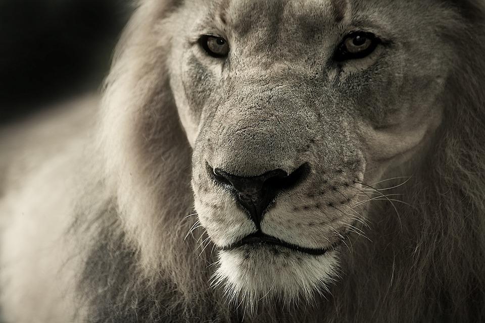 ライオン, 動物の肖像画, アフリカ, サファリ, 野生動物, 動物, 動物の世界, 南アフリカ, 自然