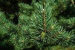 pine, needles, macro