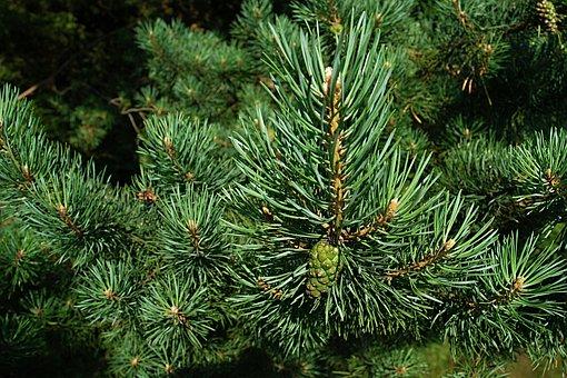 Pine, Needles, Macro, Cone, Unripe