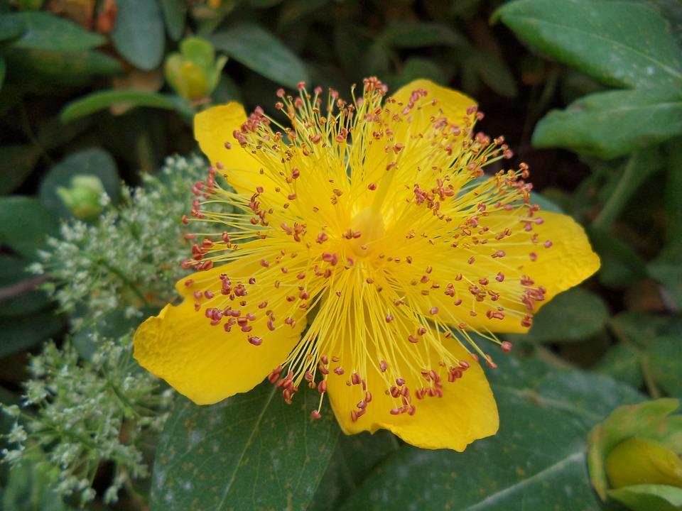 Photo gratuite: Fleur, Arbuste, Jaune, Été - Image gratuite sur Pixabay - 590882