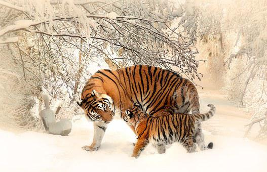 beautiful tiger walking on snow covered ground during daytime