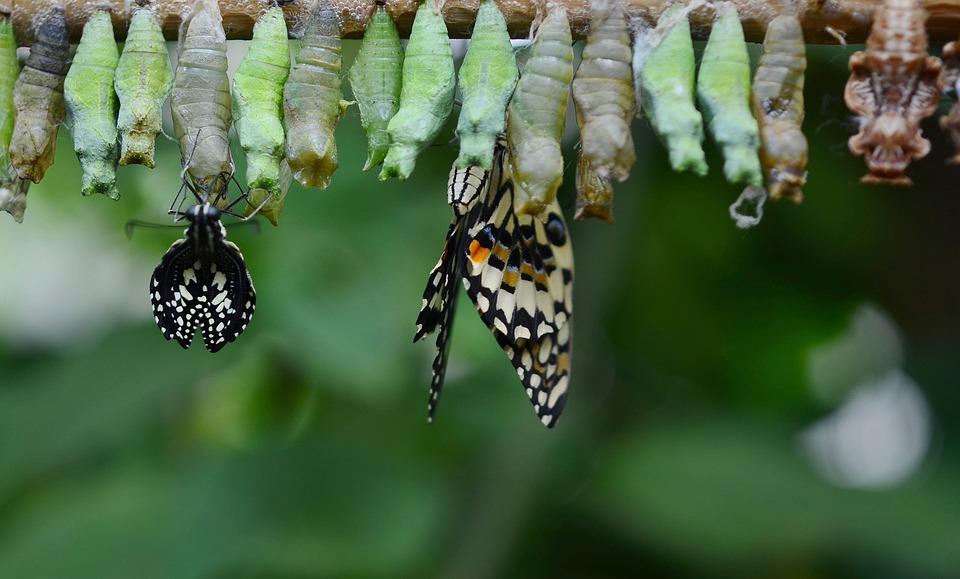 Cocon, Papillon, Insecte, Animal, Macro, Larve, Aile_