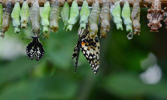 Kukla, Motýl, Hmyz, Zvíře, Makro, Larva