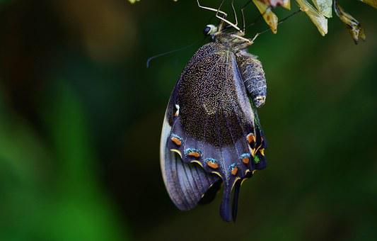Cocoon, Butterfly, Insect, Animal, Macro