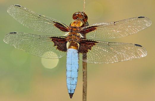 Insectes, Libellule, Depressa, Macro