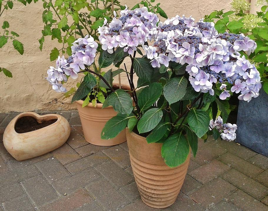Hydrangea, Flowers, Garden, Flora, Plant