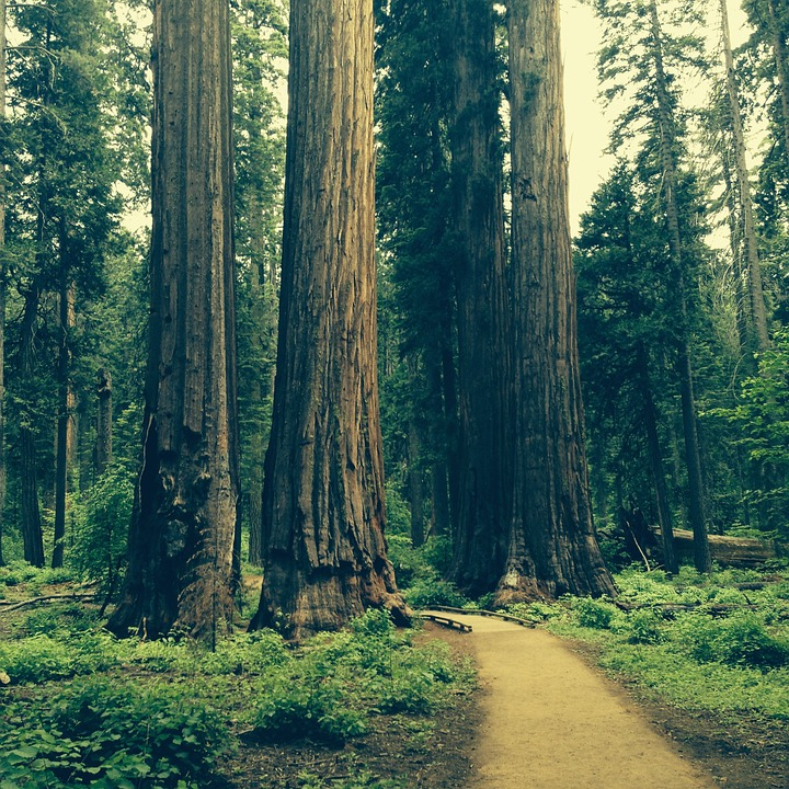 Redwood, Tree, Grove, Natural, National, Scenery