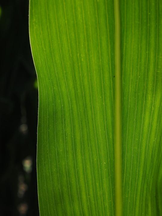 Free Photo Corn Leaf Detail Leaf Veins Corn
