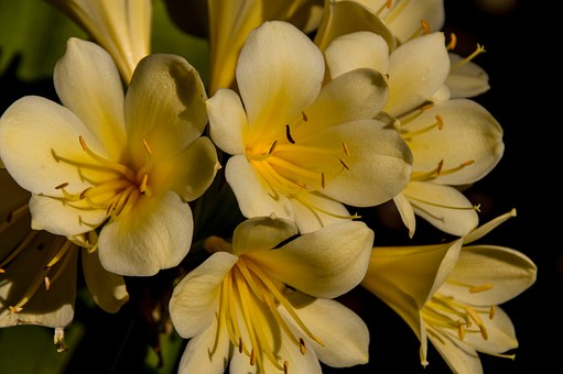 Clivia, Jaune, Ampoule, Fleur, Floraux