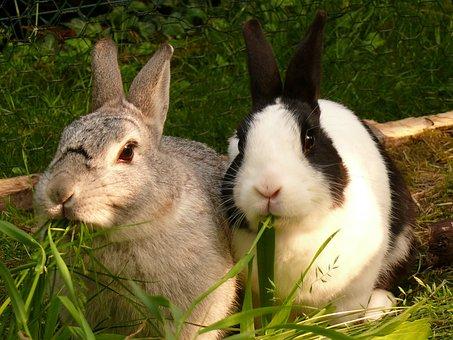 Hare, Rabbit, Nager, Munchkins