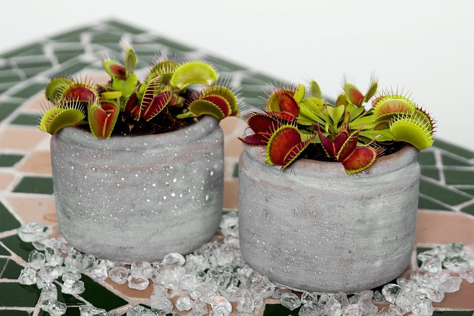 Atrapamoscas De Venus, Carnívoro, Flor, La Naturaleza
