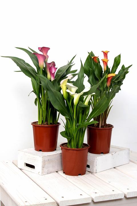 free photo calla zantedeschia flower group free. Black Bedroom Furniture Sets. Home Design Ideas