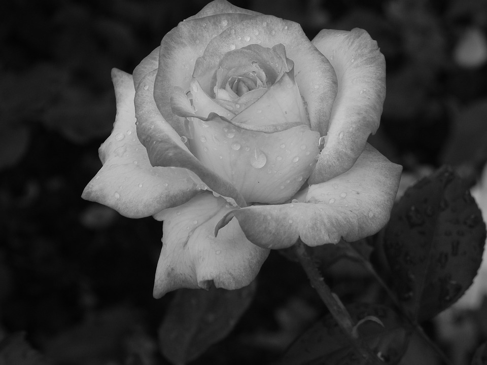Rose plant black and white flower nature flowers