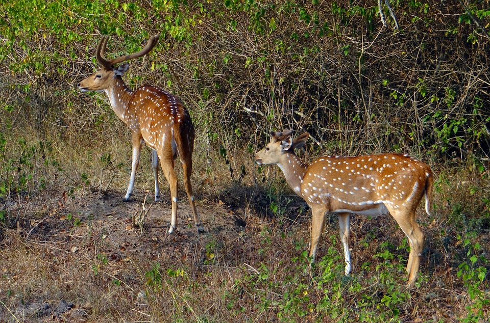Spotted Deer Chital Axis Free Photo On Pixabay