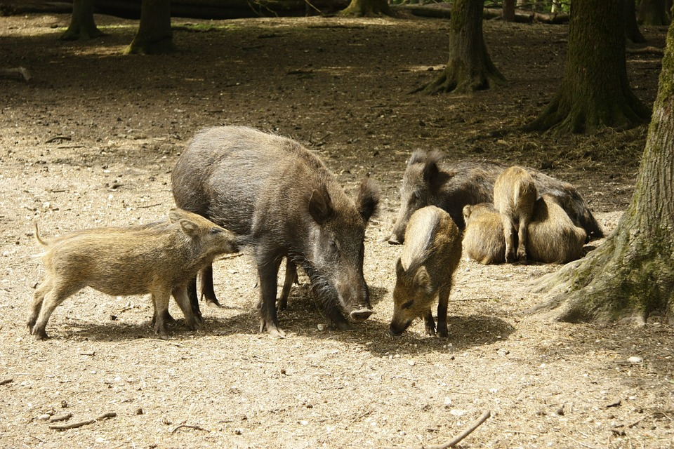 野猪, 男孩, 性质, 可爱, 动物