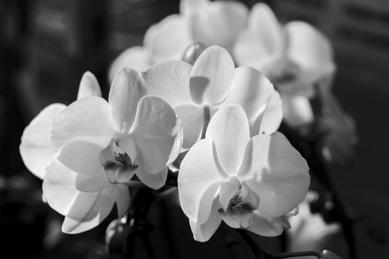 Картинки орхидей черно-белые
