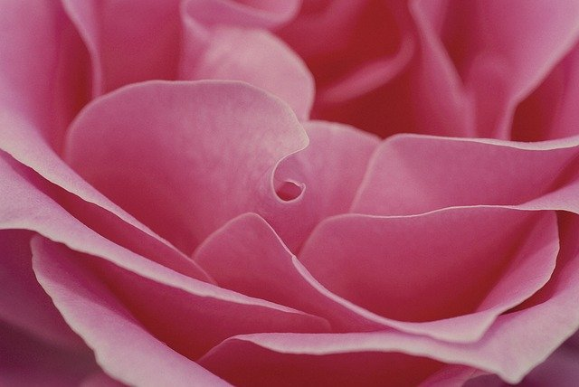 Free Photo: Rose, Pink, Romance, Love, Flower