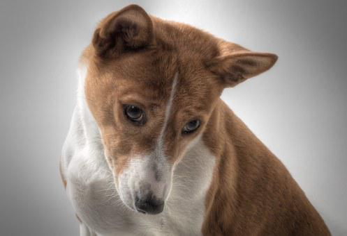 Dog, Basenji, Hundbild, Sorry, Basenji