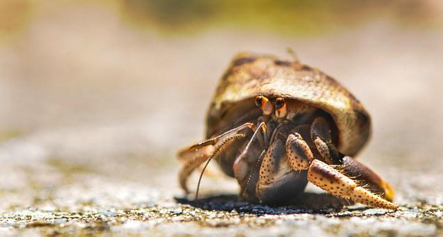 Crab Animal Marine Hermit Crab Ocean Sea N