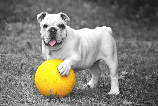 Bulldog, Dog, Animal, Pet, Play, Playful