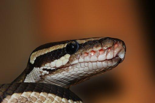 Snake Ball Python Python Regius Beauty Bro