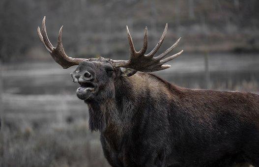 ムース, ヘラジカの雄牛, あくび
