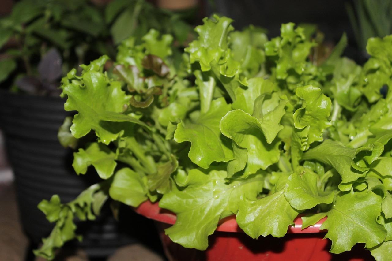 Как выращивать салат в домашних условиях - wikiHow 40