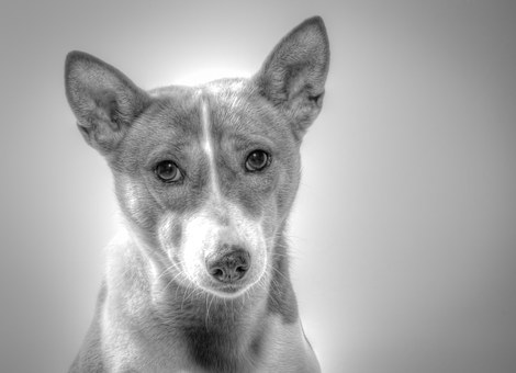 Basenji, Dog, Hundbild, Died
