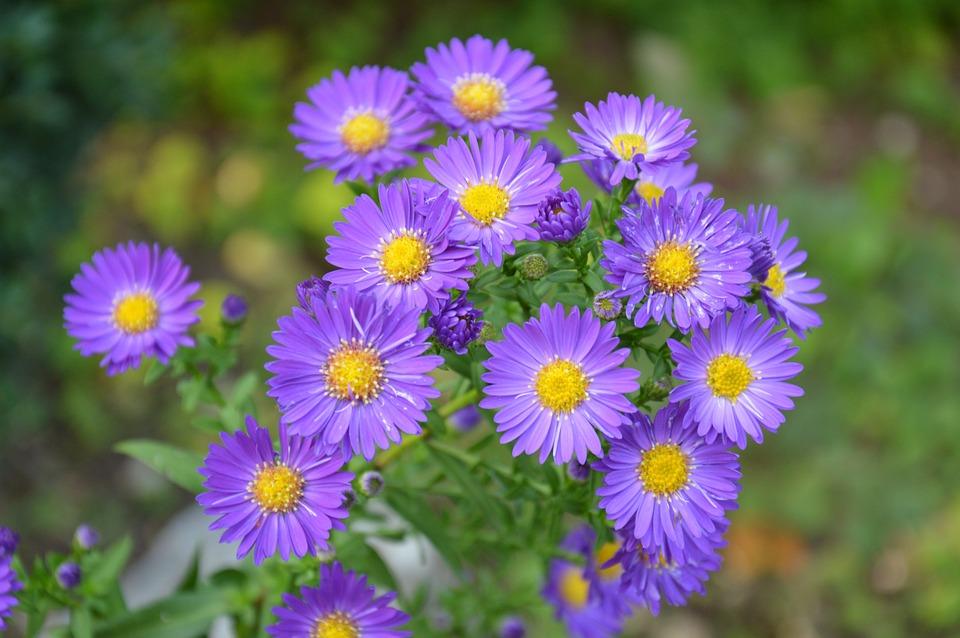 Photo gratuite pourpre aster fleurs bush image - Settembrini fiori ...