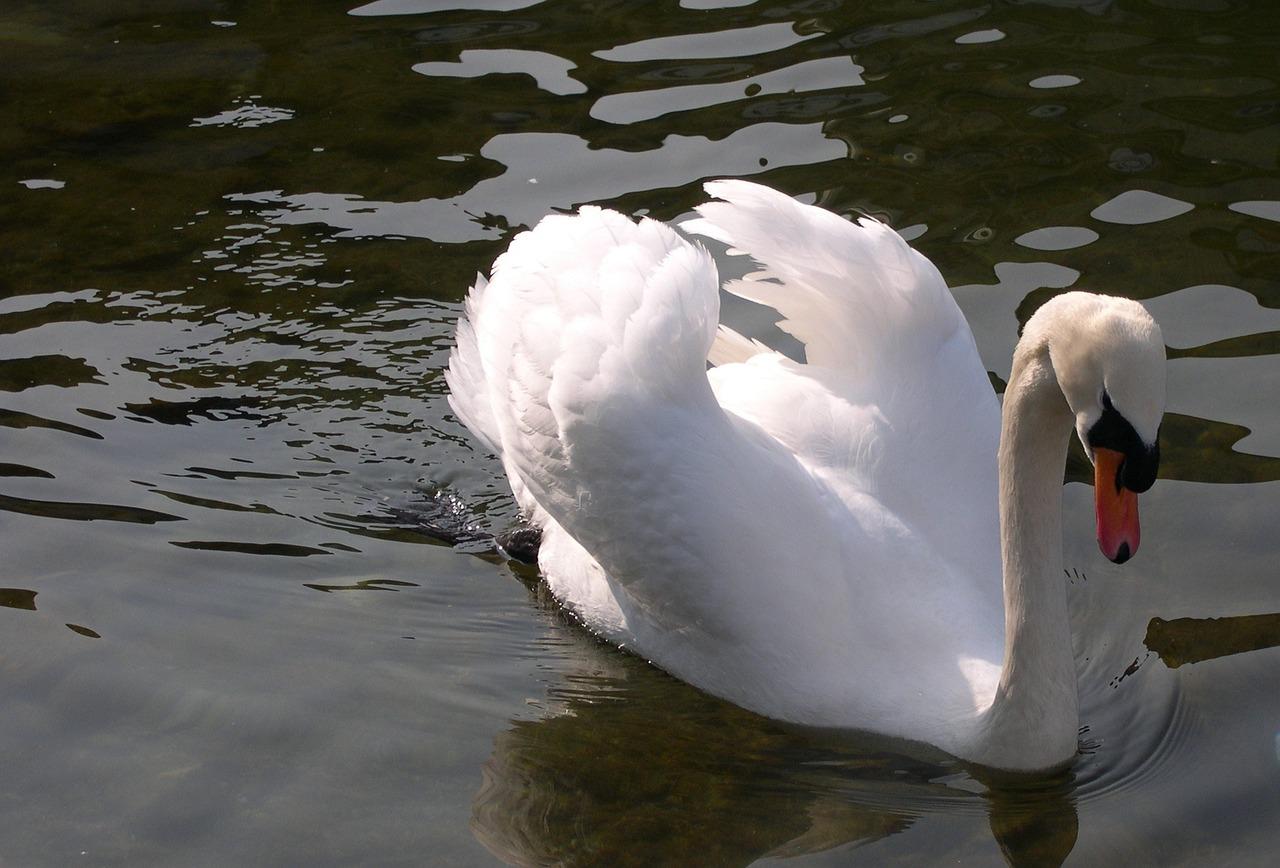 покупка фото лебеди с вв кодами выбором станет вязаное