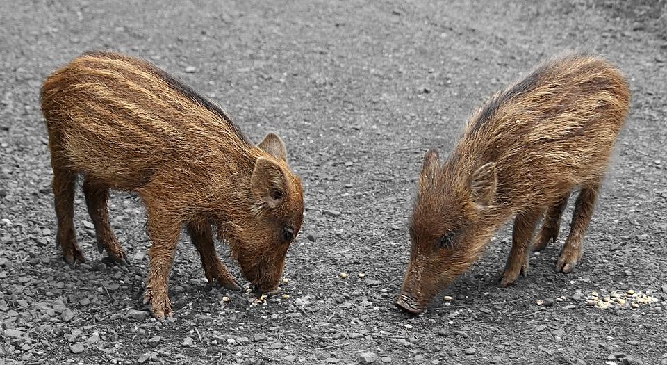 photo gratuite petit cochon rayures animaux image gratuite sur pixabay 606501. Black Bedroom Furniture Sets. Home Design Ideas