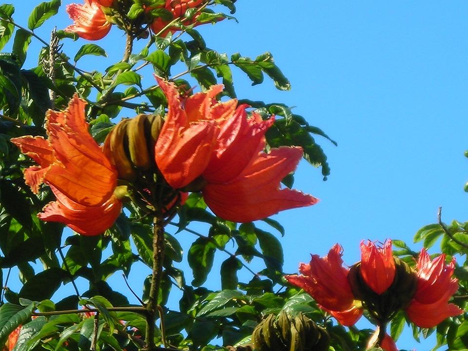 kostenloses foto afrikanischer tulpenbaum bl ten kostenloses bild auf pixabay 607044. Black Bedroom Furniture Sets. Home Design Ideas